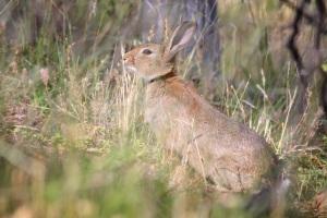Wild_rabbit_in_grass